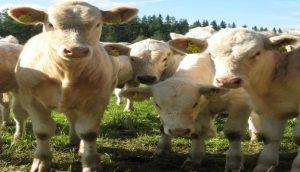 Lehmäkuva, kuvaaja: Mirja Riipinen, JAMK