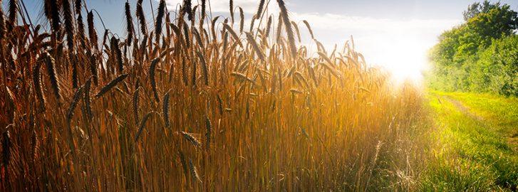 Viljapelto ja auringonsäteet