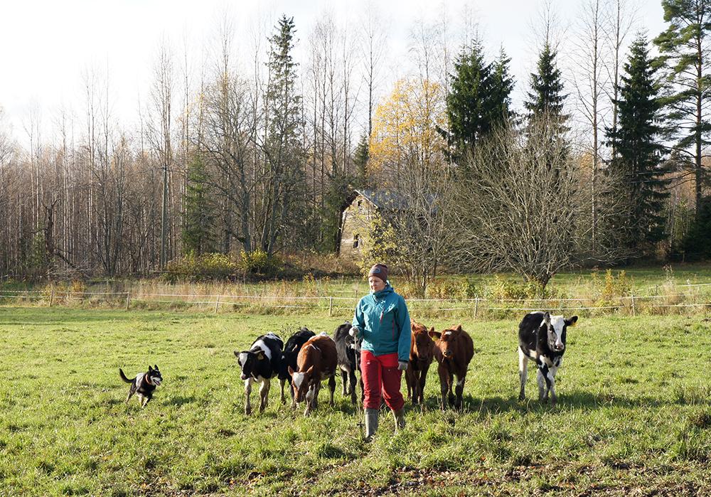Karja seuraa pellolla emäntää