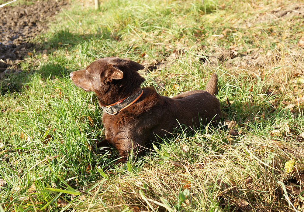Kelpie koira Nuka vahtii laumaa pellon reunalla