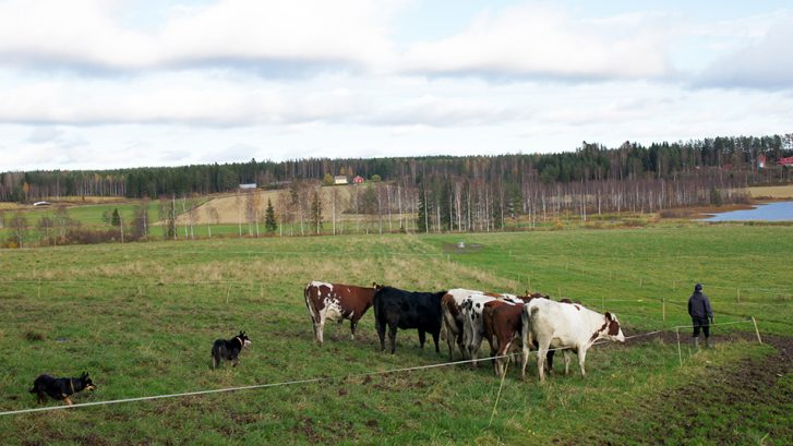 Koirat ohjaavat karjaa pellolla