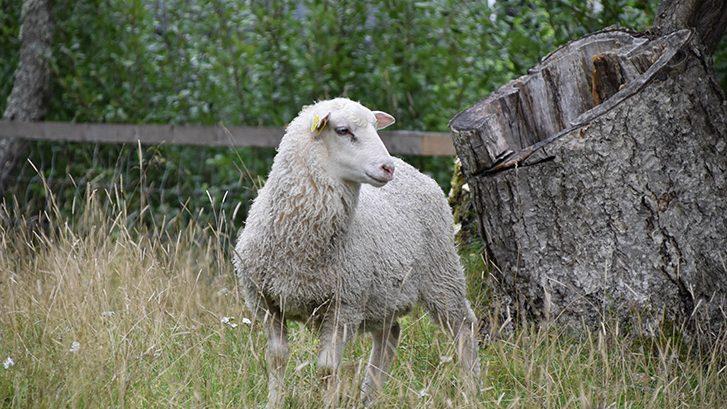 Lammas niityllä