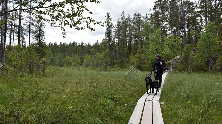 Nainen kävelee pitkospuita pitkin koirien kanssa